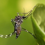 Aedes aegypti is famous the world over for spreading dengue.