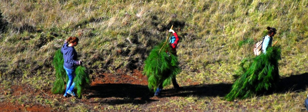 Join the Friends of Haleakalā for their annual pine pull - a chance to remove invasives and take home some locally harvested holiday greenery. Photo by Matt Wordeman.