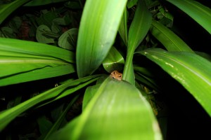 A notorious hitchiker, the coqui frog, hides in plants and cars. This frog goes through the tadpole stage inside the egg, meaning it's even easier to spread the frog. MISC file photo