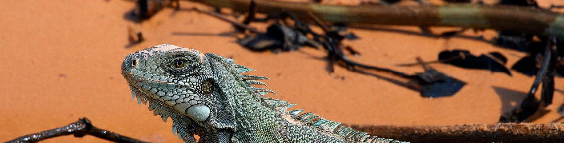 Iguanas on Maui may be more prevalent than we know