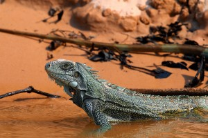 Iguanas come down from the trees to drink and several iguanas have been seen near reservoirs on Maui. Photo of iguana in Brazil by Charles Sharp.
