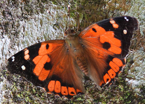 The Kamehameha butterfly can be recogized by the pattern of white patches on the upper surface of the forewings.  Pulelehua has only three main white patches in this area (though some are divided by dark wing veins). Look-alike butterflies have more white spots. Photo by Nathan Yuen