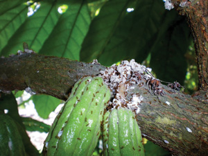 Cacao and other tree crops are particularly susceptible to little fire ant infestations. Photo used by permission from  Cas Vanderwoude.