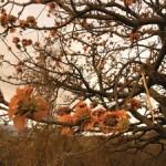 Lissa's-wiliwili-pic-web