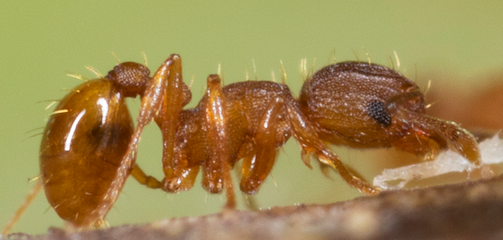 Press Release: New invasive little fire ant population discovered in Huelo