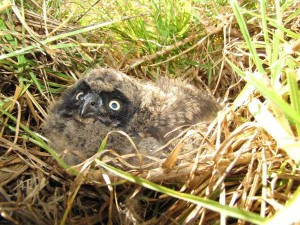 A pueo chick peers out from its nest. Ground nesting birds, like this native owl, are vulnerable to predation by introduced rats and mongoose.