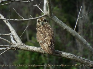 A pueo perches on a tree branch in Ulupalakua. The native pueo are darker in color than the introduced barn owl.  Photo by Forest & Kim Starr