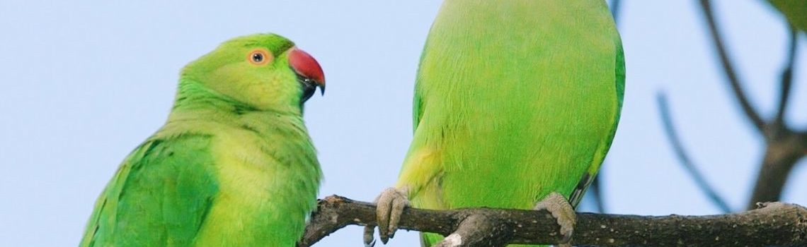 Press Release: New Invasive Species Alert: Rose-ringed Parakeets Found on Maui