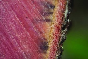 The Ceratocytis fungus spreads throughout the sapwood or vascular system of the ohia, eventually strangling the tree. The dark staining in this cross-section of an ohia is a symptom of infection  by the Ceratocytis fungus. Photo by J.B. Friday