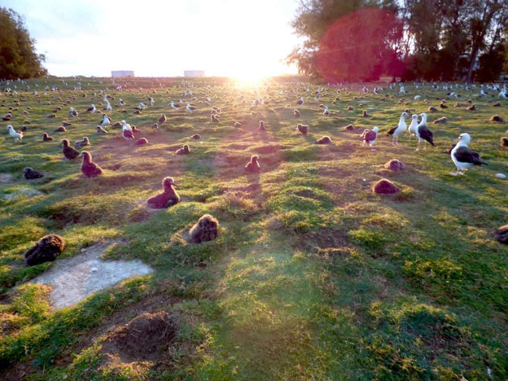 Space is at a premium for nesting Laysan albatross on Midway atoll. Removal of the invasive golden crownbeard may have helped provide more nesting area. Photo by Forest and Kim Starr