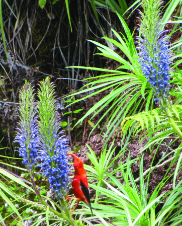 An adult 'i'iwi sips nectar form the flowers of a native lobelia in the Waikamoi preserve.