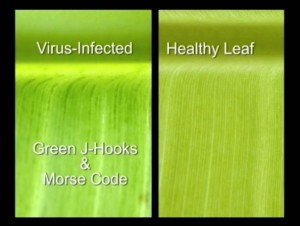 "Check for ""J-hooks"" along the midrib of the of the banana leaf. This is a symptom of BBTV infection. Photo Courtesy of Scott Nelson, UH-CTAHR."