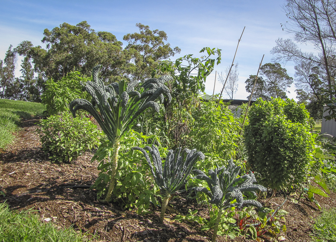Hawaiʻi is a gardenerʻs paradise, but slug control is critical given the presence of the rat lungworm parasite. Photo by Forest and Kim Starr