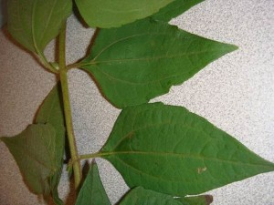 The pitchfork pattern found in the veins on the leaf of devil weed is a key feature of the plant. Photo courtesy of Oahu Army Natural Resources Program.