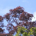 Rapid ʻŌhiʻa Death – a new threat to our watersheds