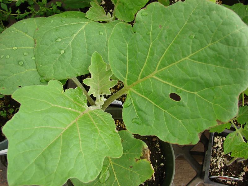 Eggplant leaves