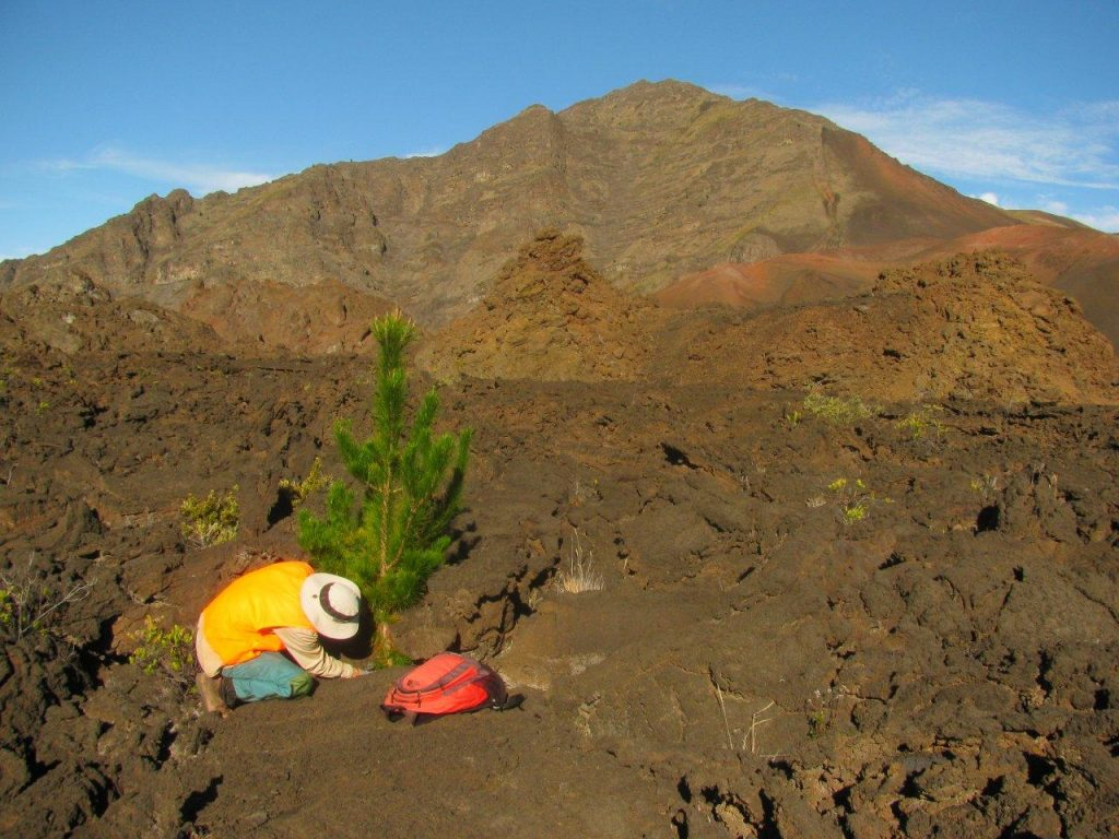 Forest Starr removes a pine sapling as part of the effort to protect Haleakala Crater. Only few species of pines are invading Haleakalā: Pinus radiata (Monterey pine), Pinus patula (Mexican weeping pine), and Pinus pinaster (maritime pine). Photo courtesy of Forest and Kim Starr