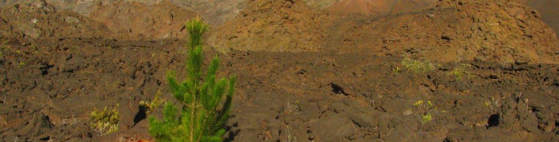 Pines threaten Haleakalā
