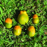greening-of-hlb-infected-fruit-usda