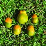 greening-of-hlb-infected-fruit-usda