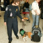 A beagle with the U.S. Customs and Border Protection inspects passengers luggage in an airport.