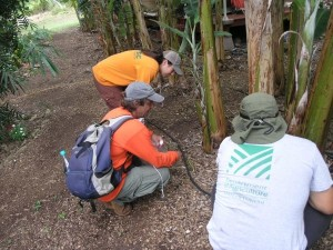 MISC staff assist the Hawaii Department of Agriculture surveying for little fire ants. MISC file photo.