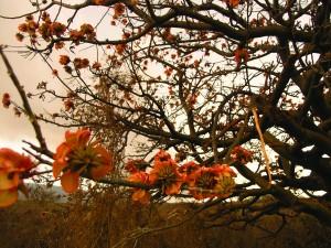 wiliwili trees