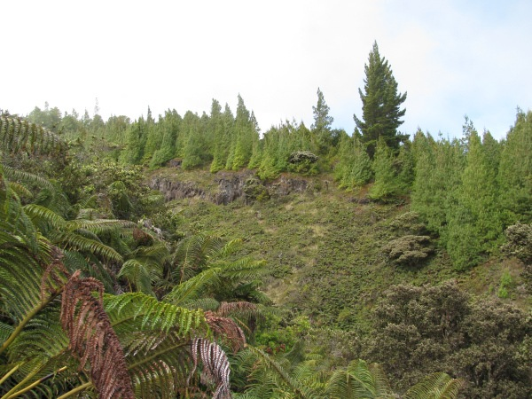 Help Hawai I Harvest A Christmas Tree Maui Invasive