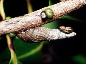 This species of Newcomb's tree snail used to be widespread on Maui but today is only known from a handful of places in the West Maui Mountains thanks to habitat loss and invasive predators-rats and the rosy wolf snail.