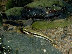 'O'opu nōpili. Photo by Skippy Hau