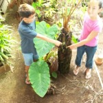 Makawao residents point to where a miconia seedling grew out of their hapu`u fern in Makawao