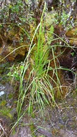 A not-so-dead pampas grass...not excellent.