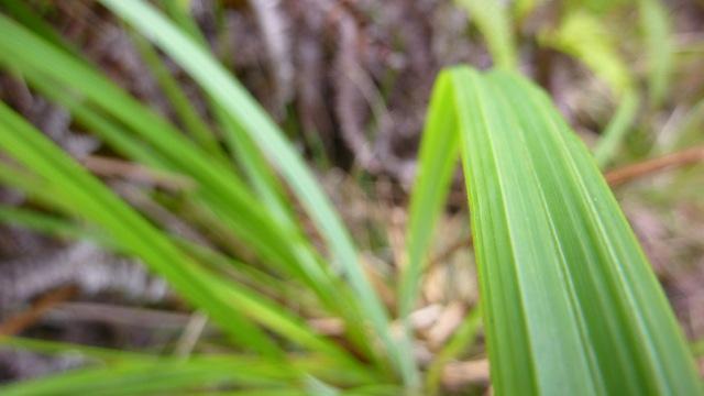 Carex leaf