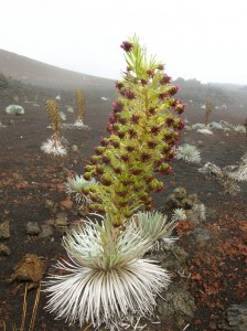 The Haleakala silversword is found only in Haleakala crater.