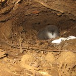 An 'ua'u chick hides in his burrow awaiting his parents return.
