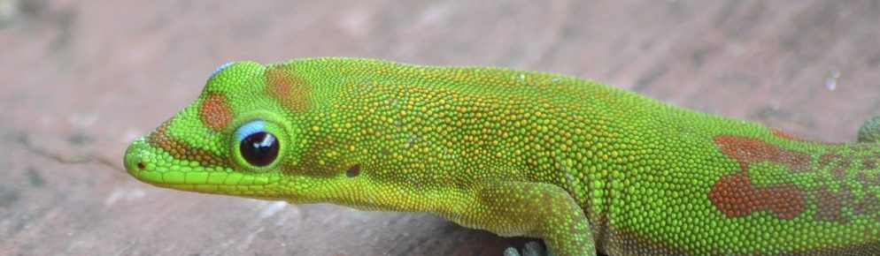 Gold dust day geckos are only the latest moʻo to make Maui home