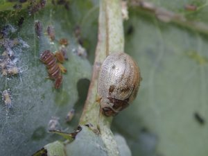 A eucalyptus tortoise beetle and eggs in the foreground. Photo courtesy of Will Haines.